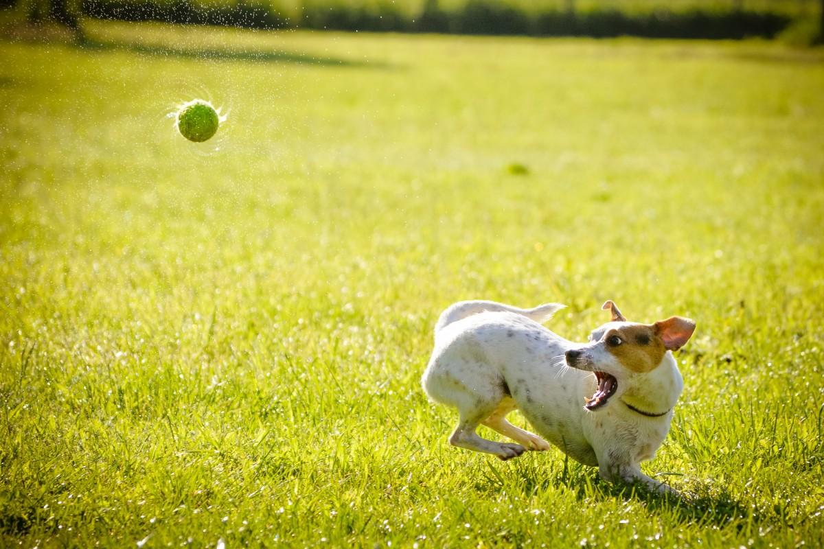 grass lawn meadow dog green pasture action mammal ball hunt rural area dog like mammal